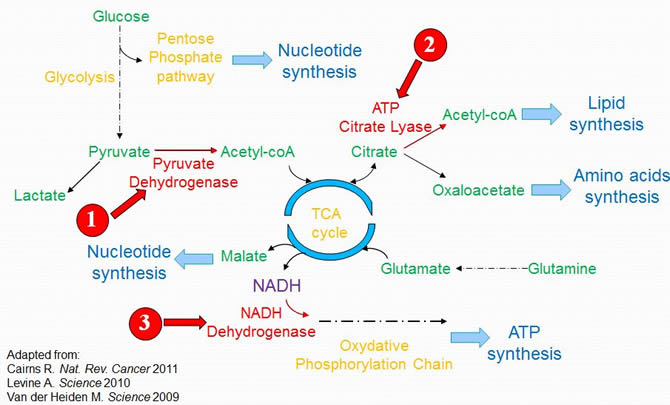 Metabolic Pathways Activated in Cancer